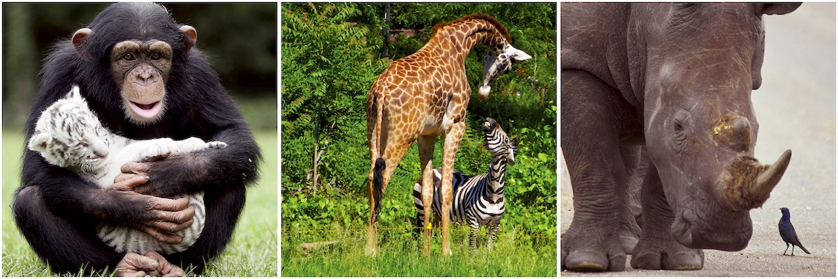 Three photos of unlikely animal friends: A chimp and a baby tiger, a giraffe and a zebra and a rhino and a bird